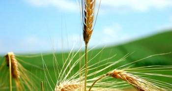 Plantando o trigo